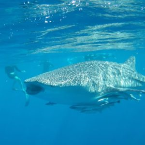 Snorkelling next to a Whale Shark off Ningaloo Reef