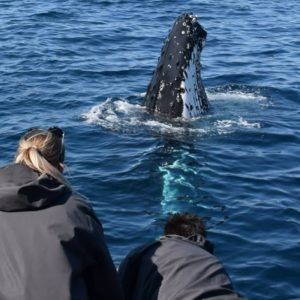 Majestic whales off Sydney. Whale Watching Tour Sydney.