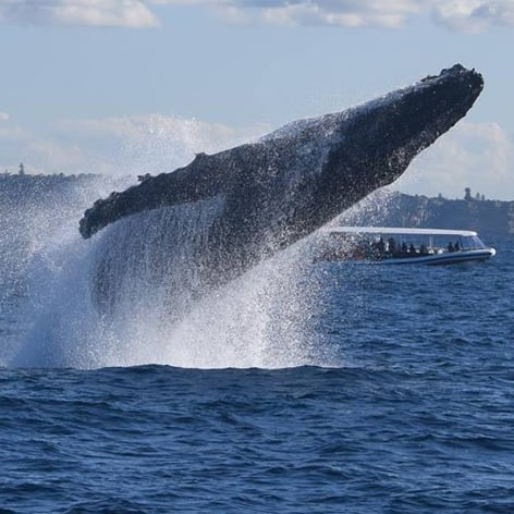 Whale Watching Cruise from Sydney Harbour, 2 hours