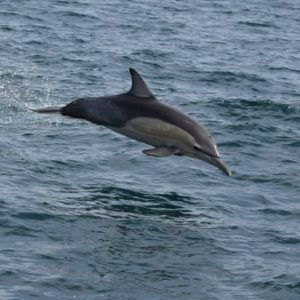Dolphins chasing the RIB out of Sydney heads!
