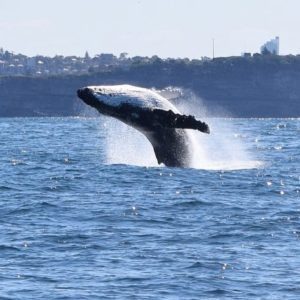 Humpback Whale breaching on our way to Bondi!