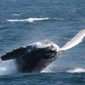 Humpback whales at play in Jervis Bay, 2 hours south of Sydney.