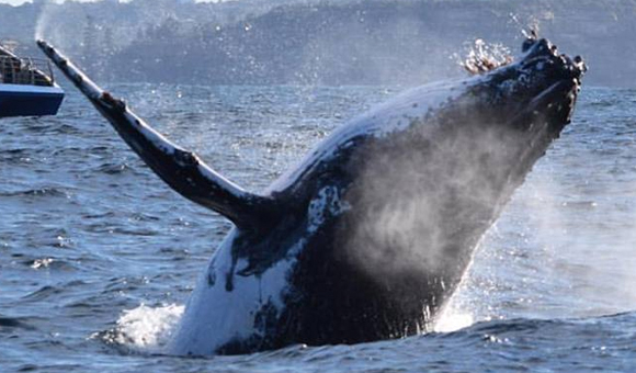 What to expect from the Sydney Whale Watching season. Join a tour today!