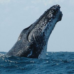 A Humpback Whale pokes her head out of the water on the Whale Watching Cruise from Coffs Harbour.