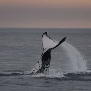 Whales talk to each other by slapping out messages on water