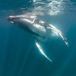 Swim with Humpback Whales off Ningaloo Reef Exmouth WA